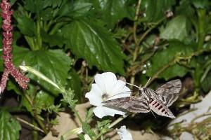 гълъбова опашка